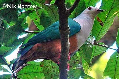 Finsch´s imperial pigeon Ducula finschii
