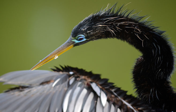 ...since they have no insulating feathers either, Anhingas require warm temperatures to survive. We don't see many Anhingas up here in Cincinnati.
