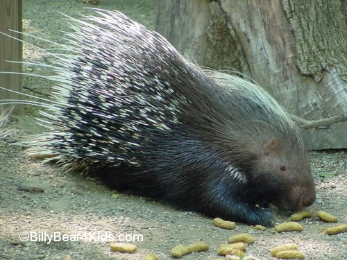 porcupines are very vocal during mating season and the gestation ...