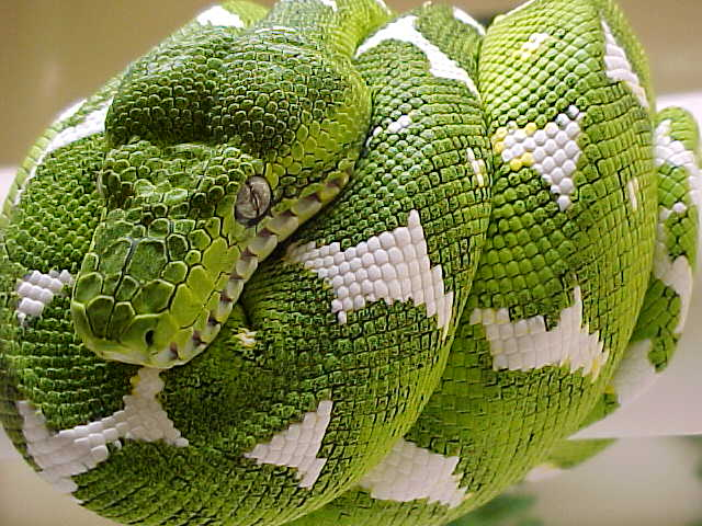 [Image: Green-Beautiful-Emerald-Tree-Boa-snake%2...3%2529.JPG]