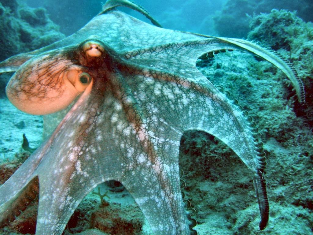 http://2.bp.blogspot.com/-KG2SNLXdM-Y/Tnb4-QkEPkI/AAAAAAAAAN4/8N6L8qivQ2g/s1600/octopus-2-733541.jpg