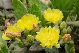 Flor de Cactus III