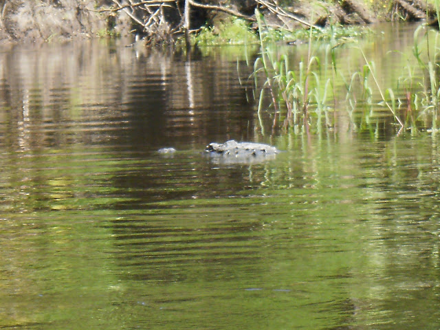 alligator in water