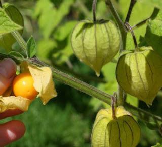 budidaya-tanaman-buah-ciplukan