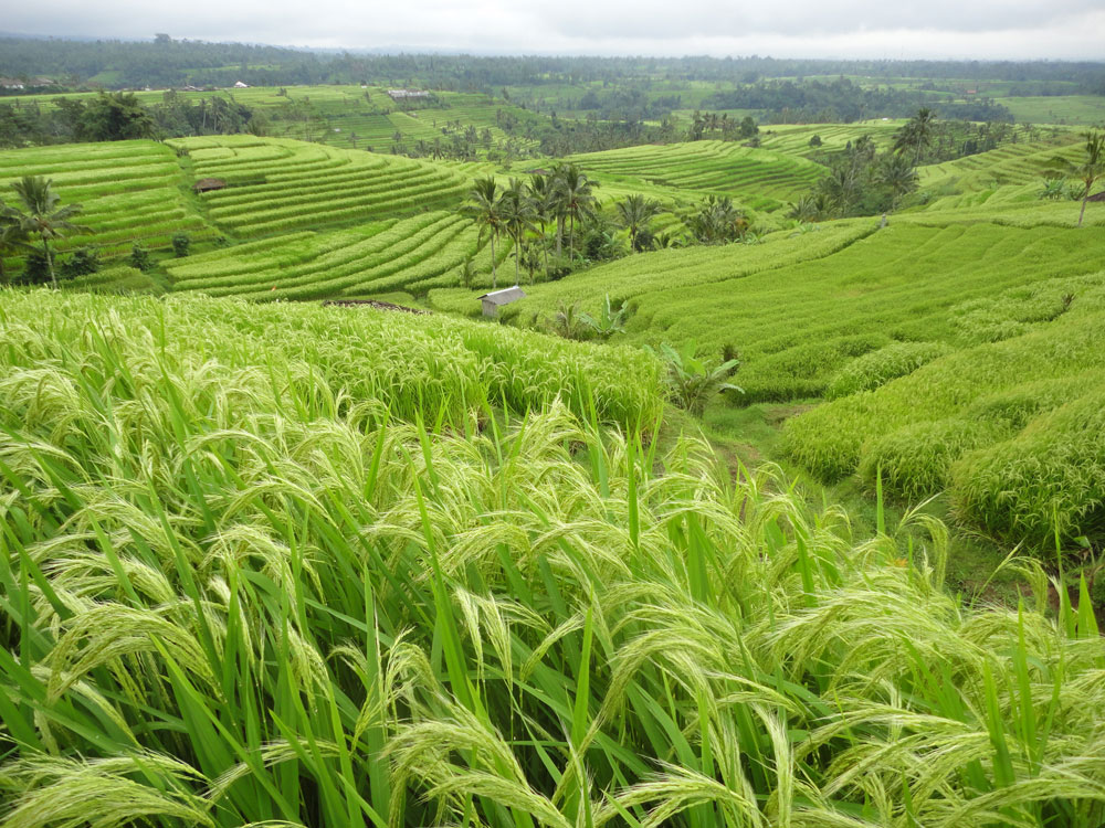 rice fields - photo #1