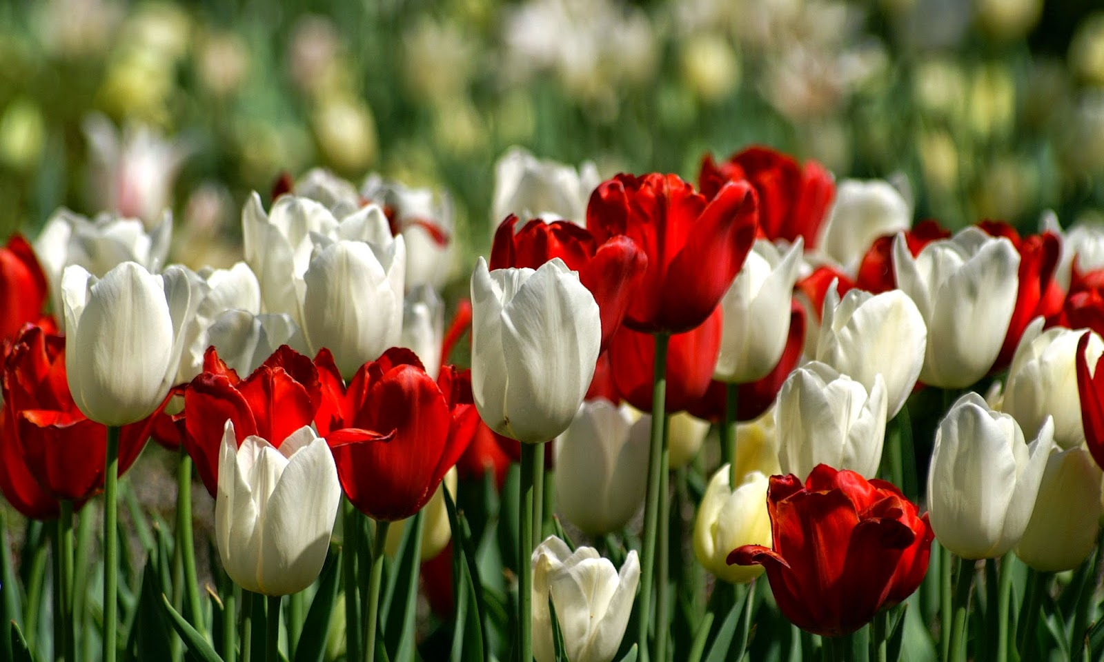 Tulips HD Wallpapers Free Download   HD Wallpapers (High ...