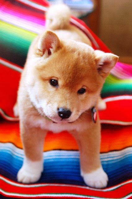 Shiba Puppy No need for words