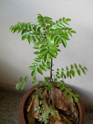 how to grow curry leaves in melbourne
