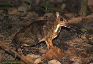 Kancil haiwan Malaysia yang hampir pupus