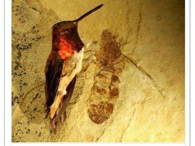 史前巨蟻 如蜂鳥大:如蜂鳥大的史前巨蟻(Titanomyrma lubei)