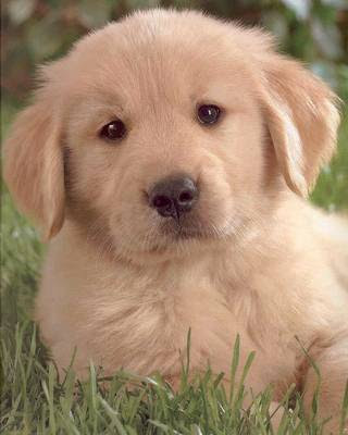 Golden Retriever Puppies on Golden Retriever Puppies Photos   Puppies Pictures Online