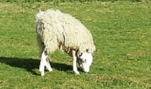 RAKAMAN imej kambing biri-biri di sebuah ladang di England yang menjadi perhatian di laman YouTube.