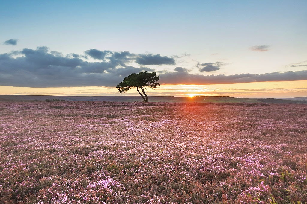 A lone tree on Egton High Moor surrounded by a carpet of flowering heather as the sun sets, near Egton Bridge on the North York Moors.