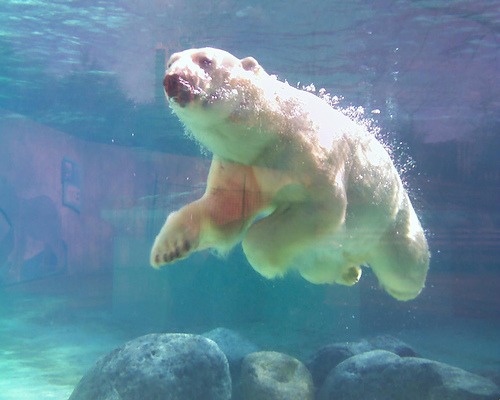 swimming polar bear pictures