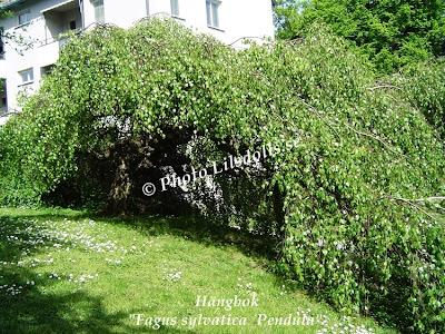 Hängbok, Fagus Sylvatica Pendula