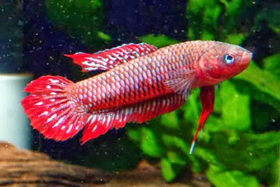 Wild Betta Wild Type Betta Burdigala