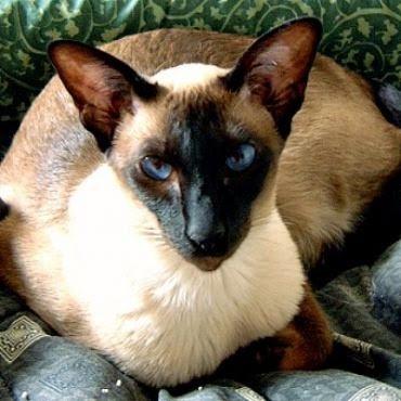 gambar ilustrasi seekor kucing Siam