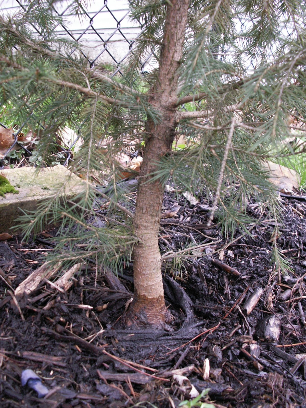 Constant Gardener Spruce Bonsai Inspiration
