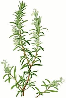 Alecrim, Rosmarinus officinalis