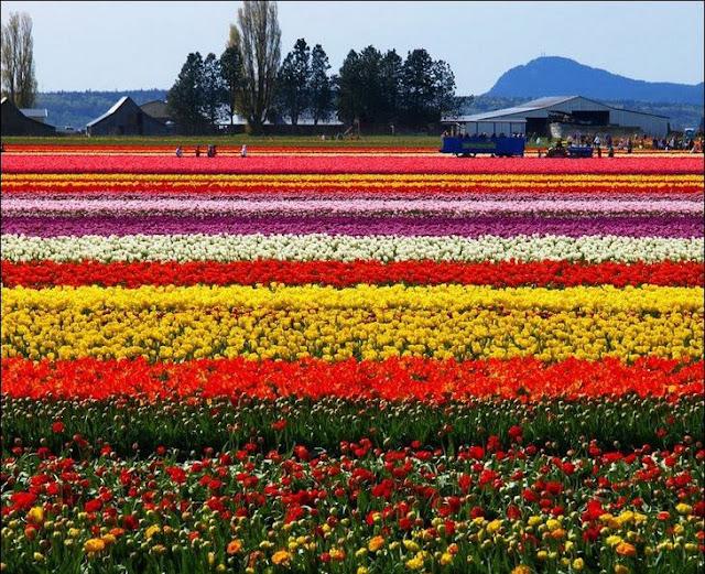 11 شهر مايو في هولندا  موسم حصاد زهور التوليب  جنة على الأرض