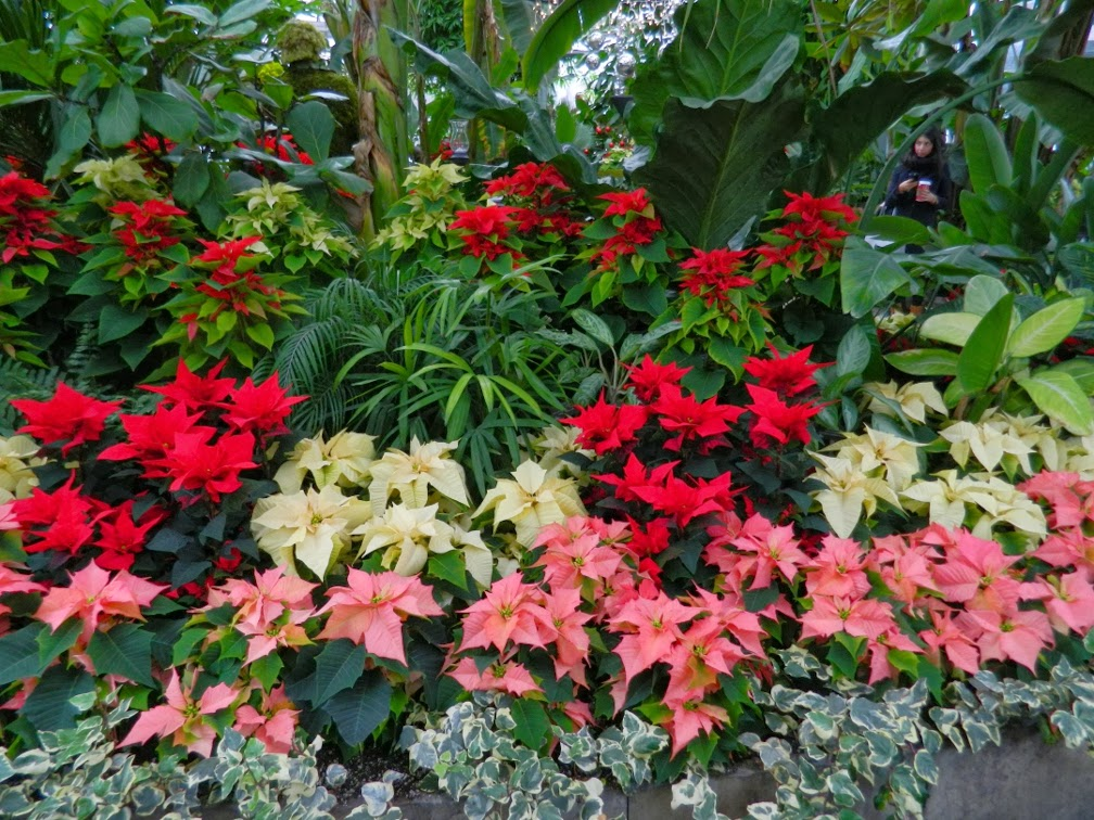 Allan Gardens Conservatory Christmas Flower Show 2013 pink red poinsettias by garden muses: a Toronto gardening blog