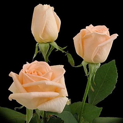 Osiana rose сорт розы фото