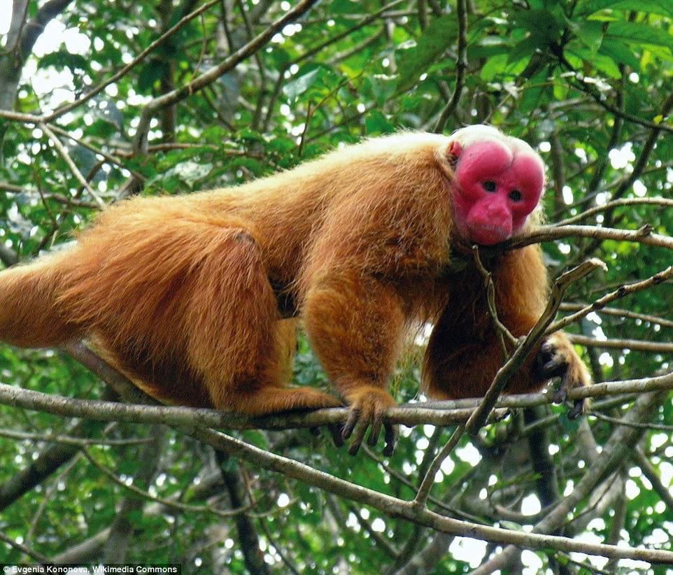 قرد الواكاري المهدد بالإنقراض يتم تناول لحومها أو كطعم لإصطياد الحيوانات الكبيرة