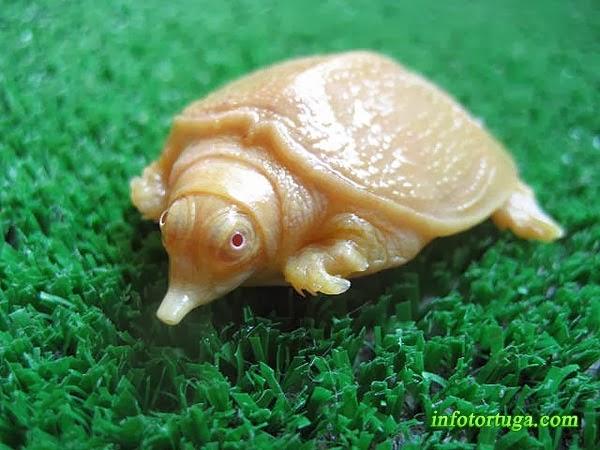 Pelodiscus sinensis albina