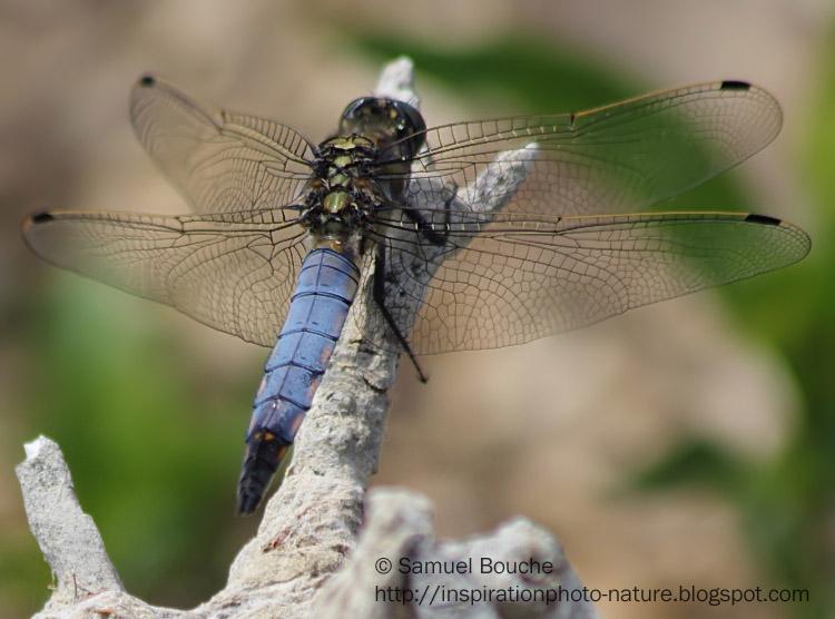 grosse libellule bleu sur une branche