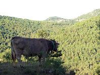 Una vaca de Postius i al fons el Puig de la Caritat