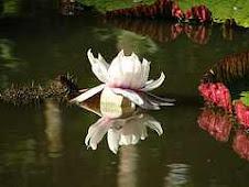 Amazonian Water Lily, Peru