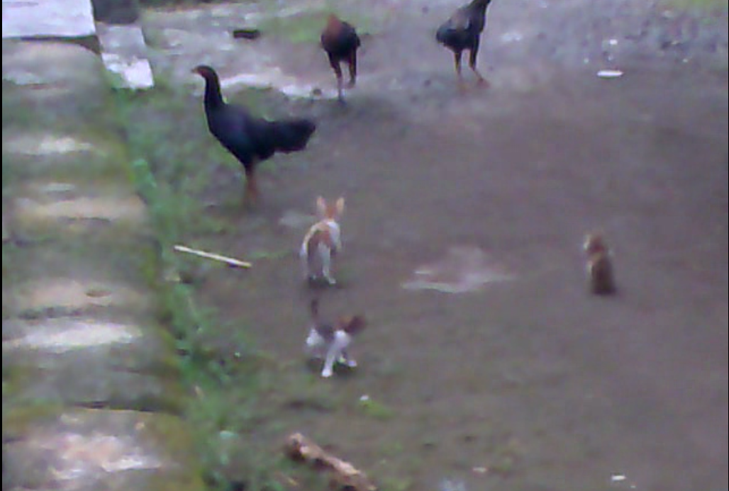 3 Cats V 3 Chickens