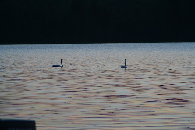 Two whooper swans at lake Päijänne