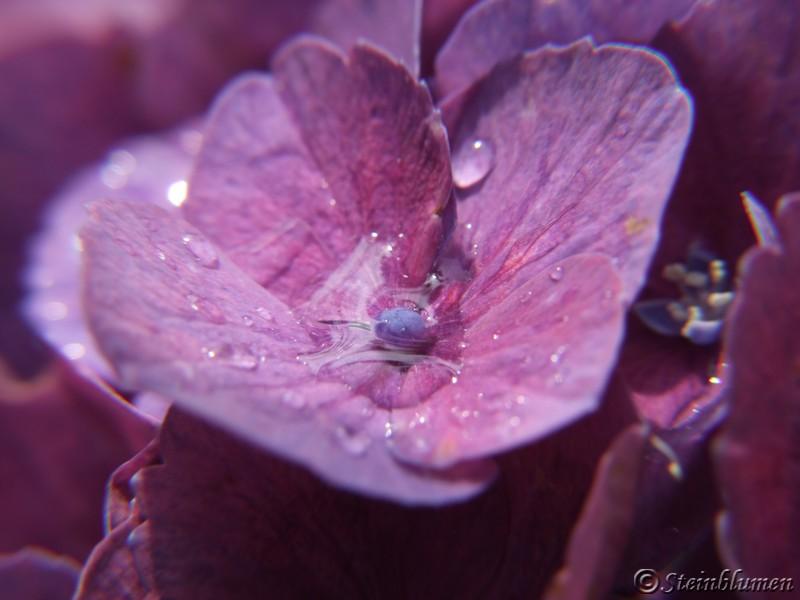 Hortensien fertile Blüten