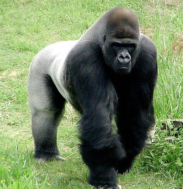 African silverback gorilla - photo#26