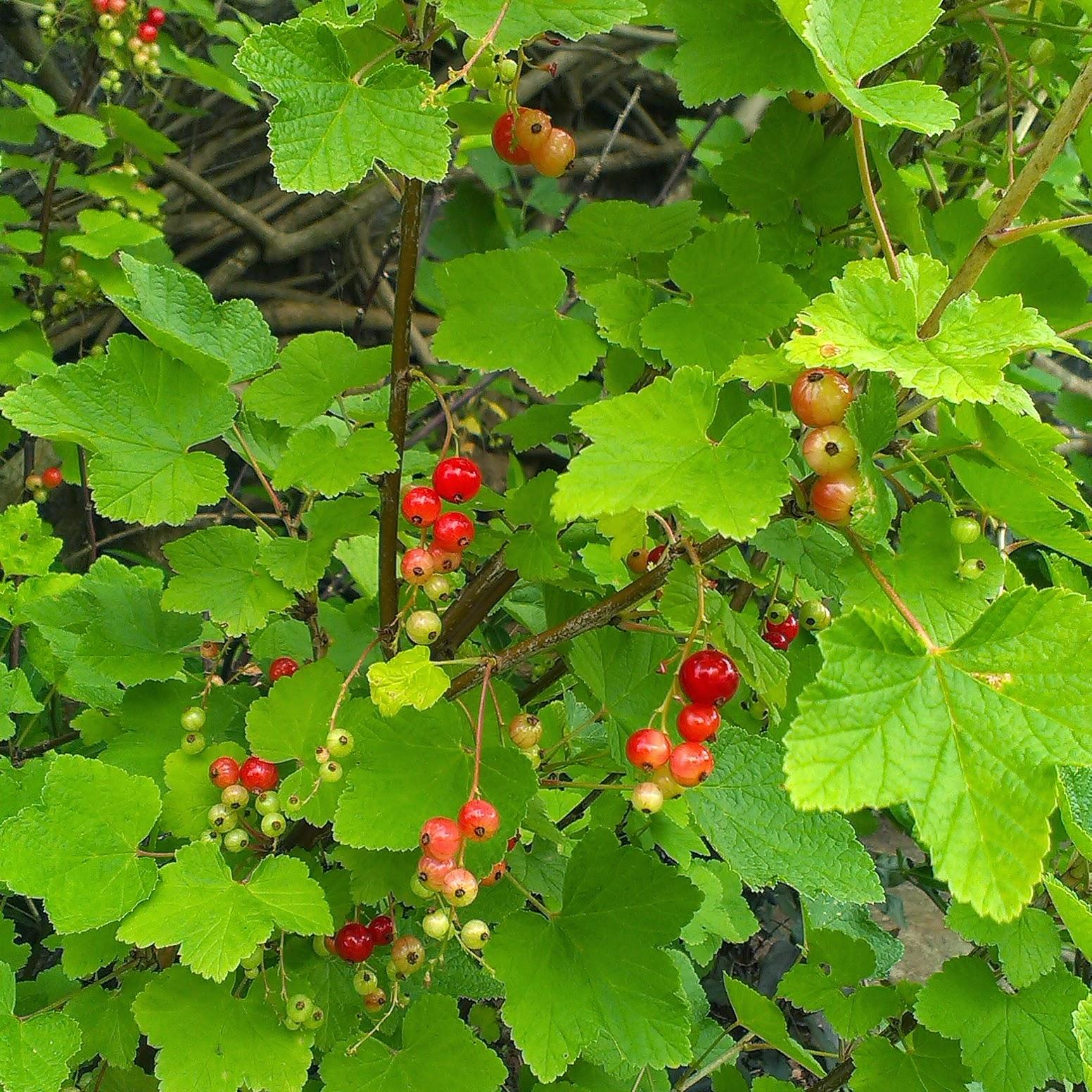 Redcurrant bush