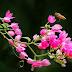 Hai sắc hoa tigon