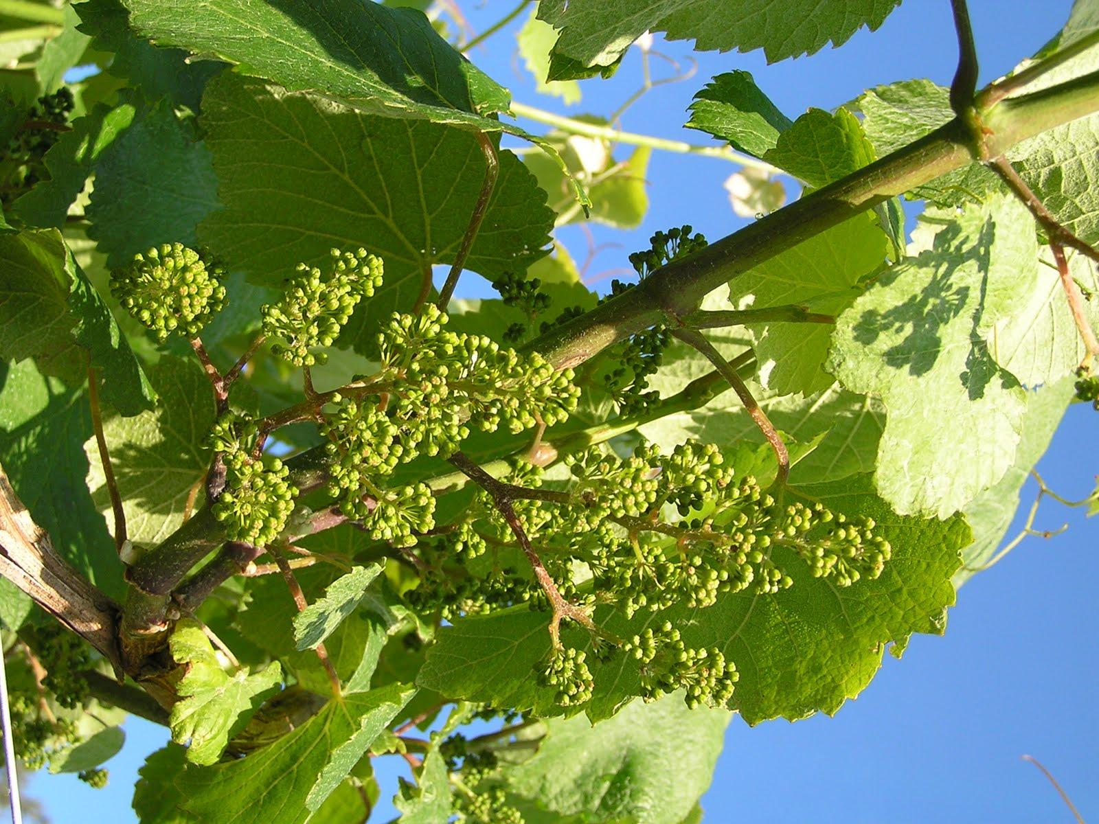 BAJO EL SOL DE LAS RIAS BAIXAS - haciendo vino albariño: Desde ...