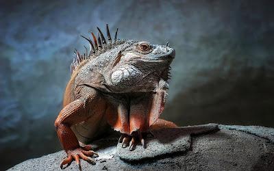 Una iguana realmente exótica - Exotic iguana reptile