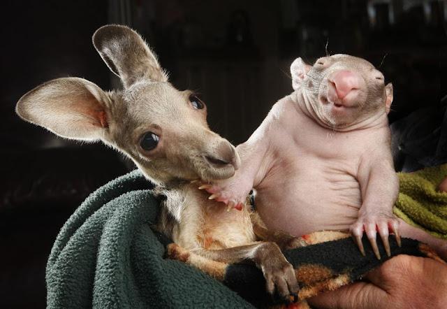 Baby wombat and baby kangaroo share pouch, orphaned baby wombat, and baby kangaroo