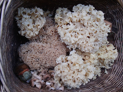 grzyby w październiku, grzybobranie w październiku, grzyby w okolicach Krakowa, siedzuń sosnowy, szmaciak gałęzisty, Sparassis crispa, pieprznik trąbkowy, Cantharellus tubeaformis, muchomor czerwieniejący, Amanita rubescens, opieńka miodowa, Armillaria melea, Twardówka anyżkowa, twardówka muszlowata, Lentinellus cochleatus, Lejkówka wonna (zielonawa) - Clitocybe odora, Purchawka chropowata - Lycoperdon, podgrzybek brunatny, Xerocomus badius, borowik ceglastopory, Boletus luridoformis, muchomor czerwony, Amanita muscaria