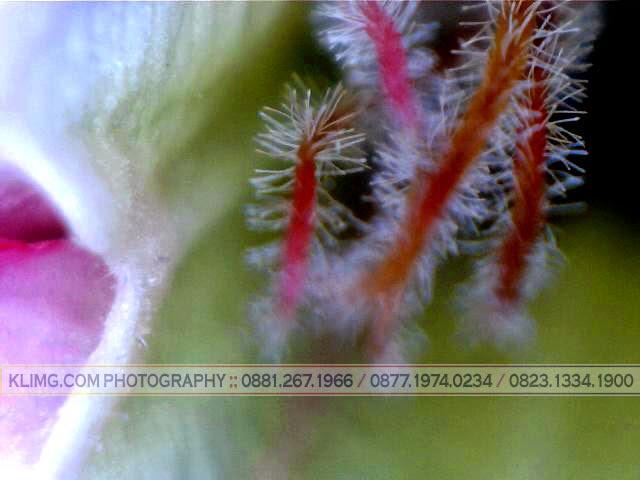 Bunga Kamboja dalam frame / tampilan Macro - photo oleh KLIKMG.COM Photography