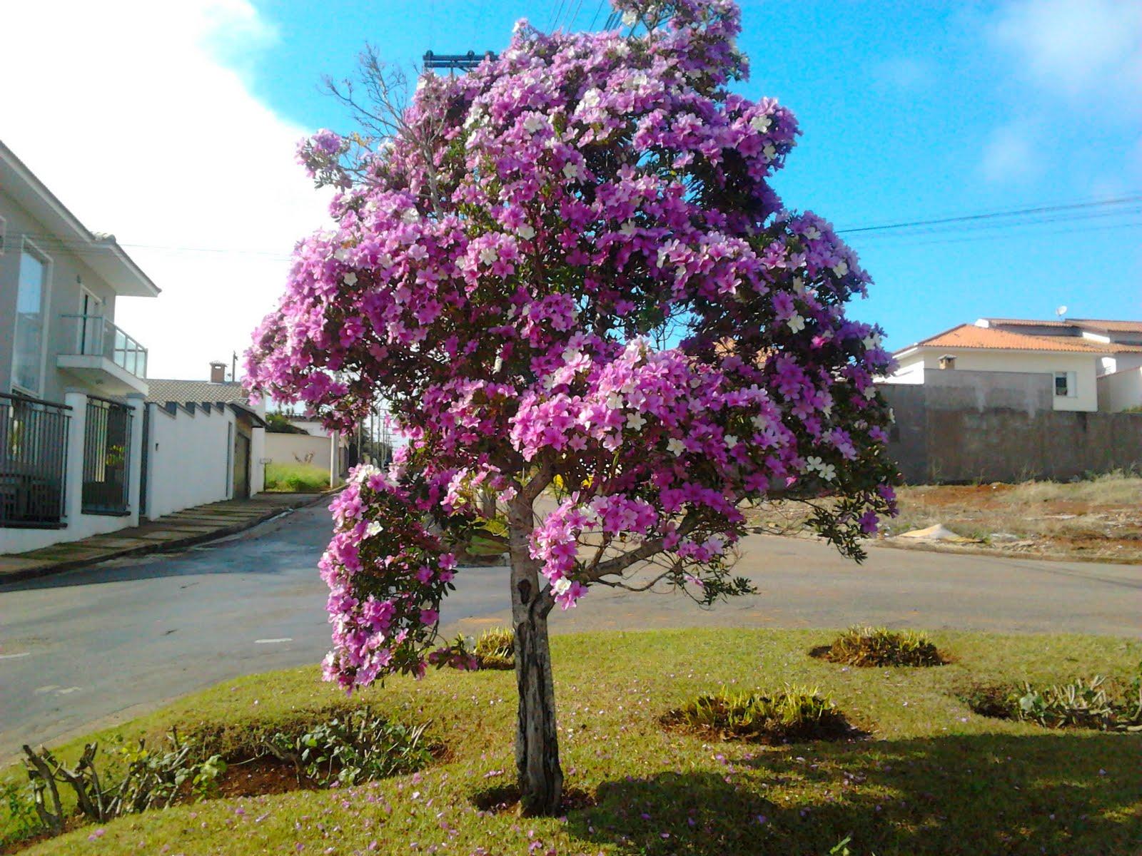 manaca de jardim em vaso : manaca de jardim em vaso:República Blog de Itapeva: Manacá em flor, no Jardim Ferrari 3