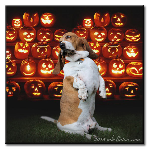 Basset Hound sitting with many Jack O Lanterns