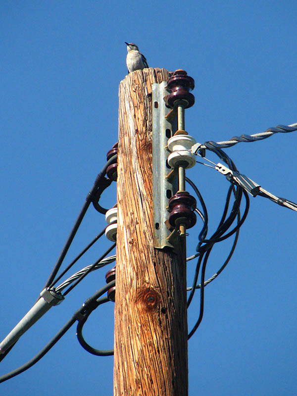 a mockingbird sitting way up there on top of a telephone pole with wires and powerline insulators