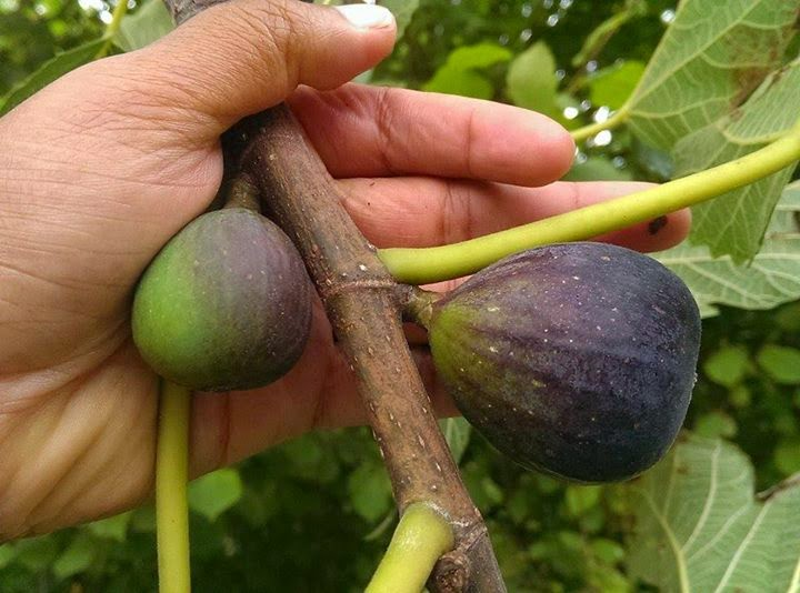 figs calories