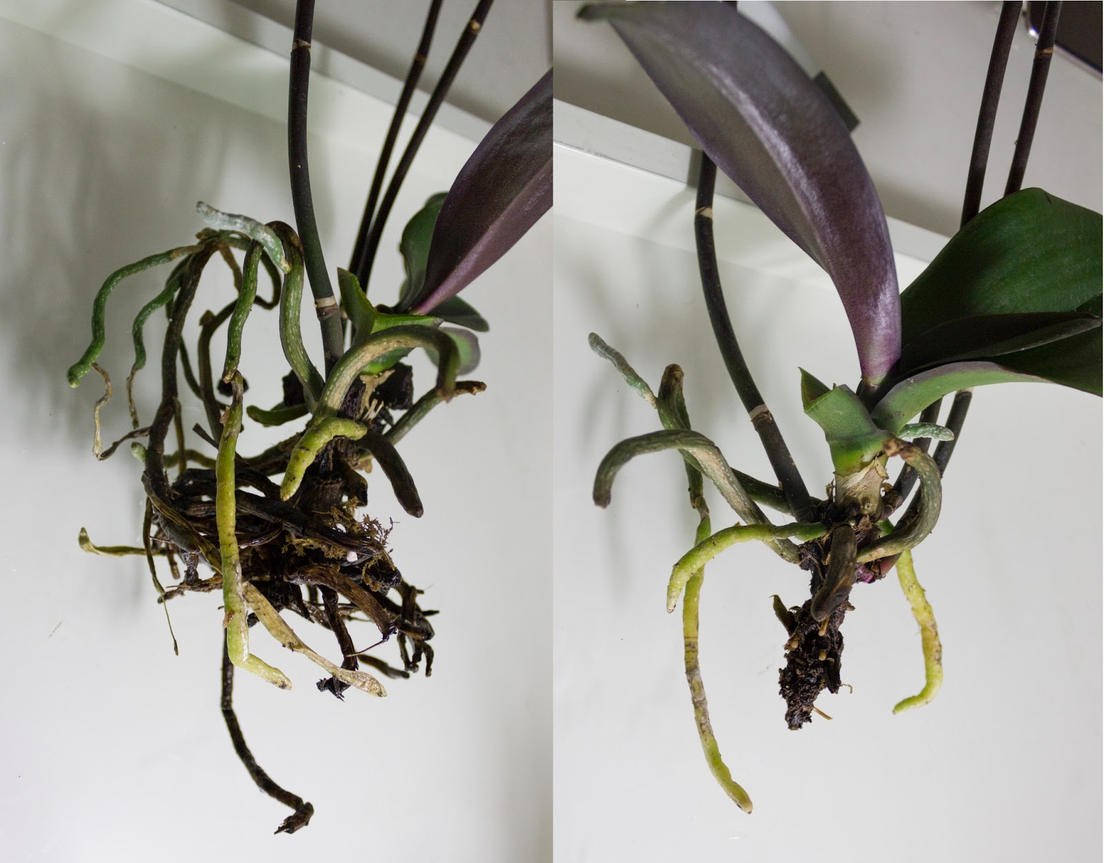 Orchid Phalaenopsis Roots