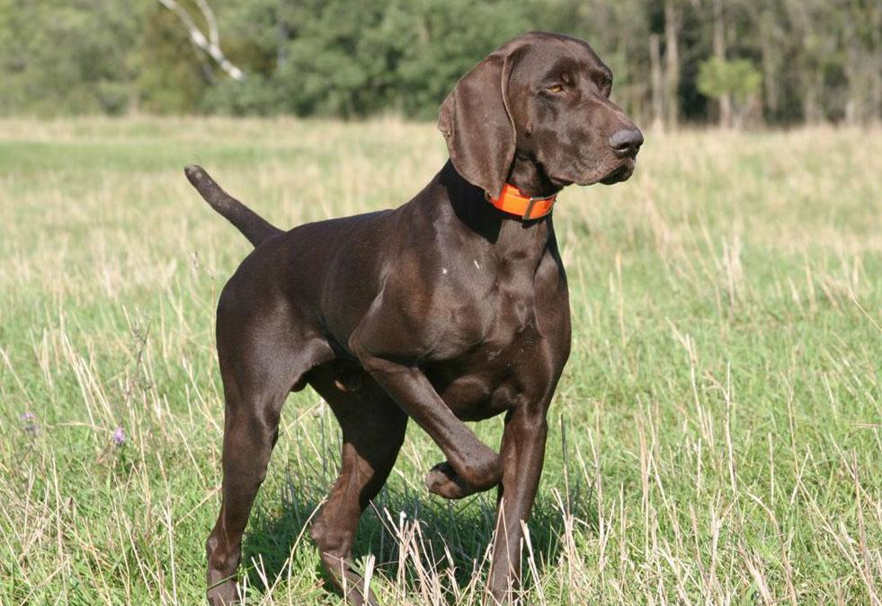 the hunting dog german short haired pointer is a hunting dog that can ...