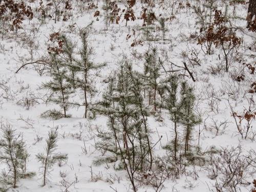 jack pines