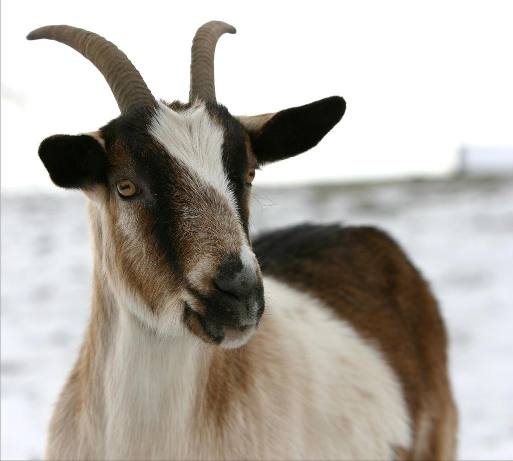 R Goats Toddler Storyti...